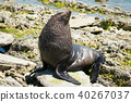 Cute Fur Seal on the rock Kaikoura beach 40267037