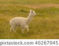 Cute baby alpaca over green glass 40267045