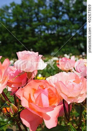 형광색 같은 아름다운 연어 핑크 장미 40267869
