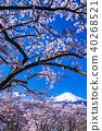 """""""山梨縣""""富士山和櫻花盛開 40268521"""