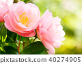山茶花 日本山茶 花朵 40274905