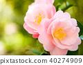 山茶花 日本山茶 花朵 40274909