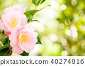 동백, 동백나무, 꽃 40274916