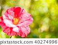 山茶花 日本山茶 花朵 40274996