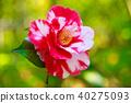 山茶花 日本山茶 花朵 40275093