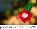 山茶花 日本山茶 花朵 40275291