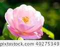 山茶花 日本山茶 花朵 40275349