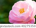 山茶花 日本山茶 花朵 40275350