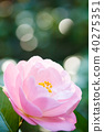 山茶花 日本山茶 花朵 40275351