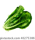 Lettuce on white background. Watercolor illustration 40275386