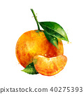 Mandarin on white background. Watercolor illustration 40275393