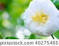 山茶花 日本山茶 花朵 40275465