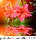 Plumeria  flower in garden 40281178