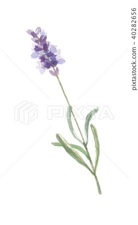 lavender 40282656