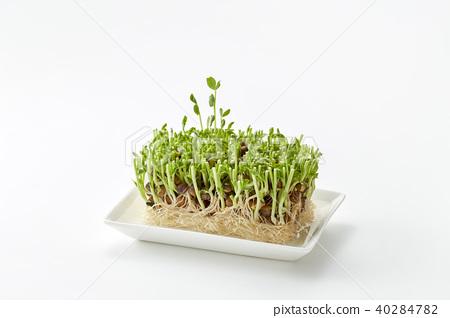 豆豌豆苗(栽培第2天) 40284782