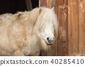 A white pony looks into the camera 40285410