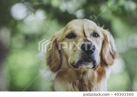 金毛獵犬和綠色背景 40303360