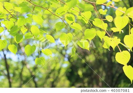 菩提樹年輕葉子 40307081