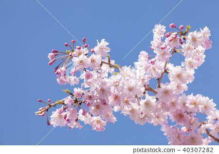 벚꽃 40307282