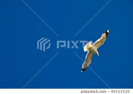 Flying seagull in the sky, Stockholm, Sweden 40315520