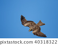鷹 猛禽 黑鳶 40318322