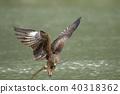 鷹 猛禽 黑鳶 40318362