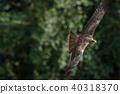鷹 猛禽 黑鳶 40318370
