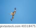 鷹 猛禽 黑鳶 40318475