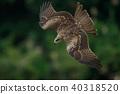 鷹 猛禽 黑鳶 40318520