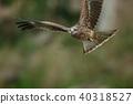 鷹 猛禽 黑鳶 40318527