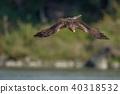 鷹 猛禽 黑鳶 40318532