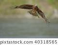 鷹 猛禽 黑鳶 40318565