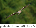 鷹 猛禽 黑鳶 40318572