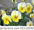 中提琴 花朵 花 40319090