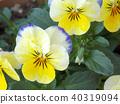 中提琴 花朵 花 40319094