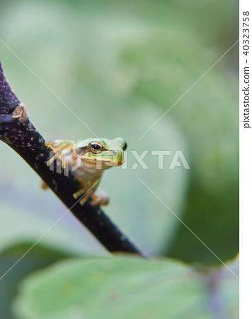 日本樹蛙 日本樹蟾 樹蛙 40323758