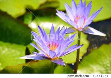 台灣 睡蓮 香水蓮 新北市 スイレン water lily 40331073