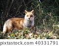 개과, 폭스, 여우 40331791