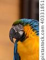 Ruri金剛鸚鵡38 40331851