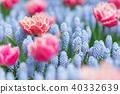 Bee flying among pink tulips and grape hyacinths 40332639
