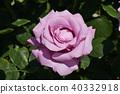 玫瑰(海王星) 40332918