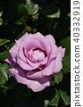 玫瑰(海王星) 40332919