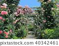 可以看到橫濱港口的山公園的玫瑰園 40342461