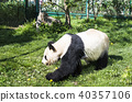 Giant panda bear walking on the grass 40357106