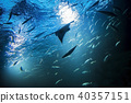 Batoidea swimming with other fishes under the sea. silhouette in light rays 40357151