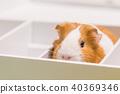 幾內亞豬在一個盒子裡 40369346