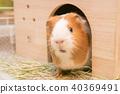 豚鼠 40369491