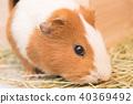 豚鼠吃草 40369492