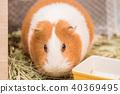 豚鼠吃草 40369495