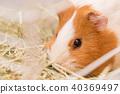 豚鼠吃草 40369497